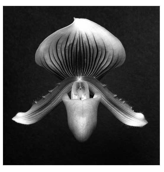 Orchid, 1988 Gelatin Silver Print (C) Robert Mapplethorpe Foundation. Used by permission.